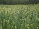 Cover crop establishment April