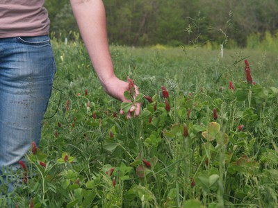 Crimson clover and hairy vetch (1)