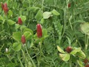 Crimson clover and hairy vetch (2)