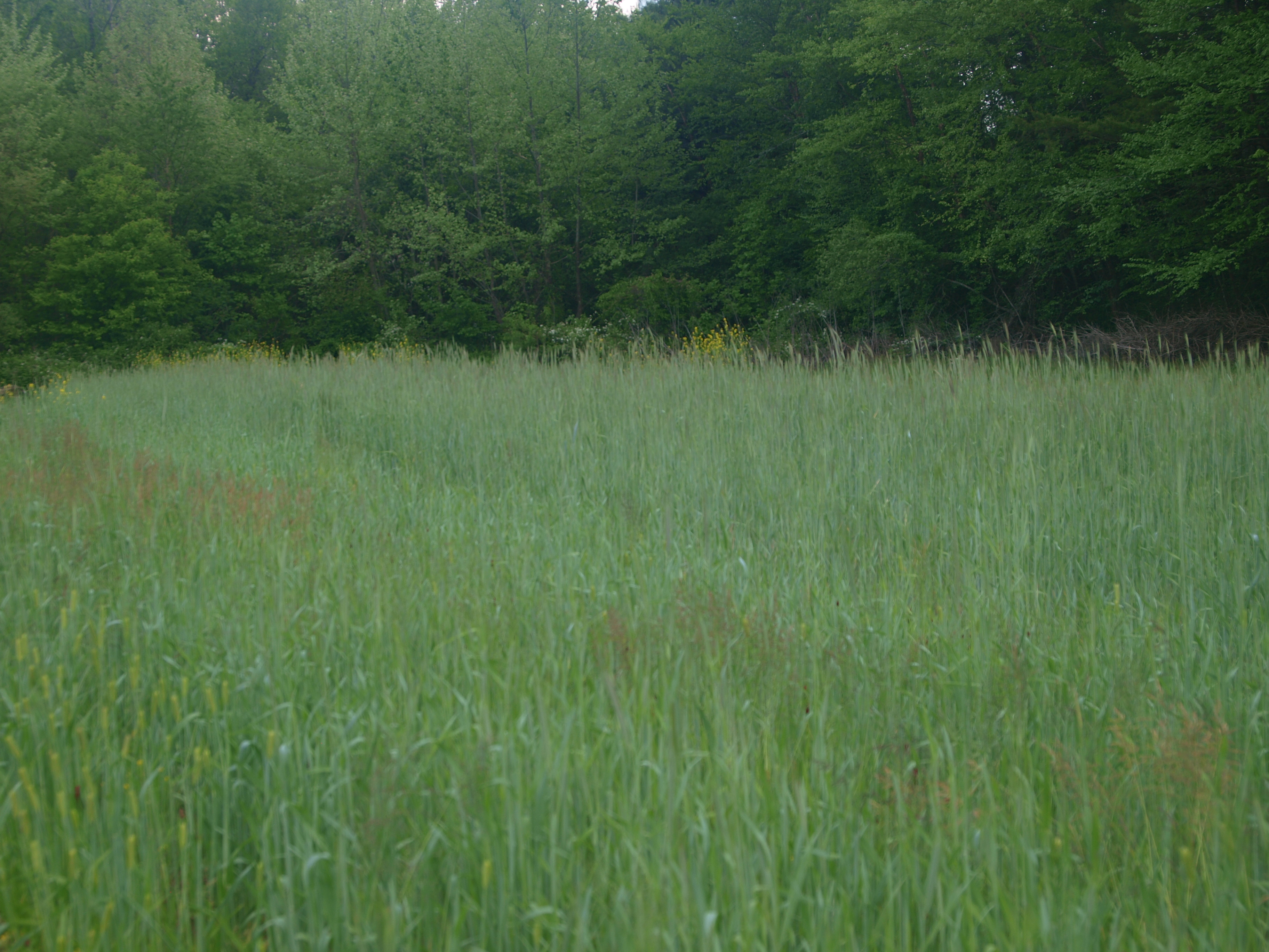 Rye cover crops
