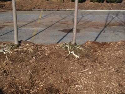 Balled and burlapped trees healed in with mulch to prevent freezing