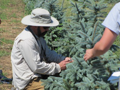 Using beat sheets and 7x, 10x or 16x handlens to scout conifers and look for mites.