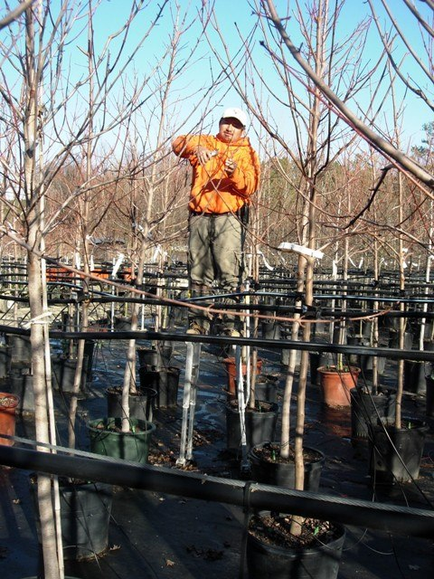 Using stilts to prune container grown shade trees.