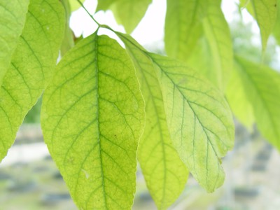 Interveinal chlorosis of ash foliage.