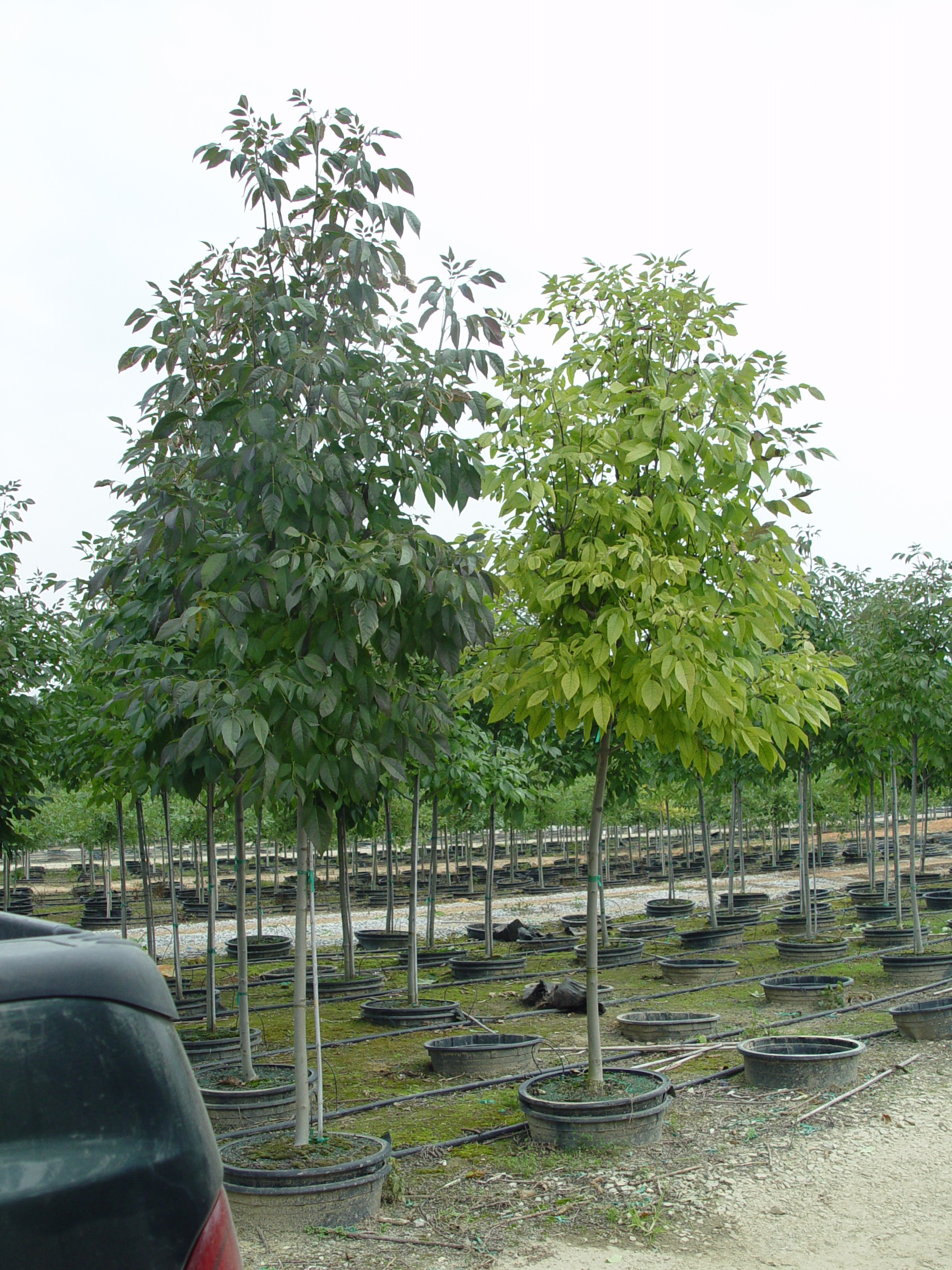 Low nutrition leads to decreased height and foliar chlorosis