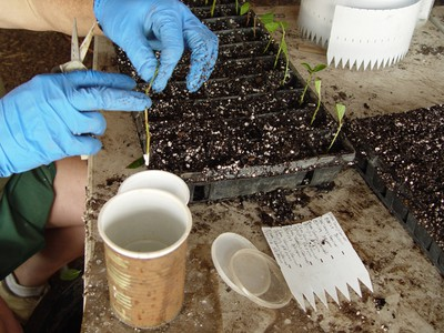Stem cuttings without lower leaves being dipped in talc containing rooting hormone.