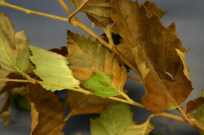 Desiccation of foliage on river birch from high salts in irrigation water