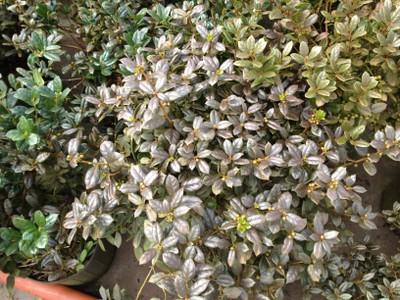 Iron deposits on foliage of plants